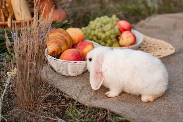 Кролики міні , Міні ЛоП, NHD , декоративні  кроликі