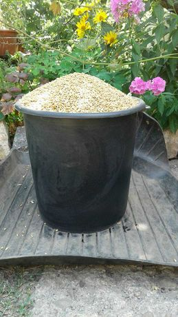 Продам пшеницу ведро 50 грн.