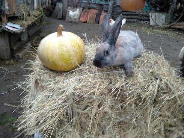 Продам безпородных кроликов (помесь)