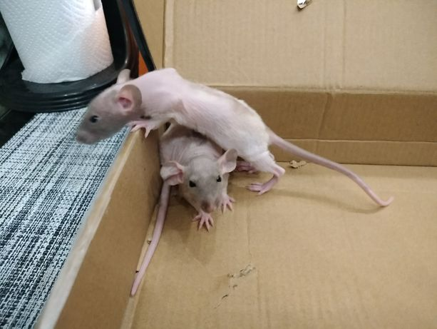 Крысята Сфинксы Дамбоухие
