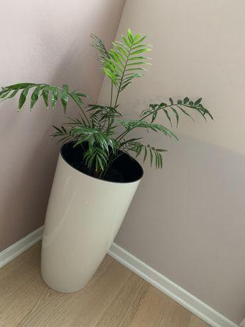 Хамедорея , комнатное растение , пальма . Только Донецк.