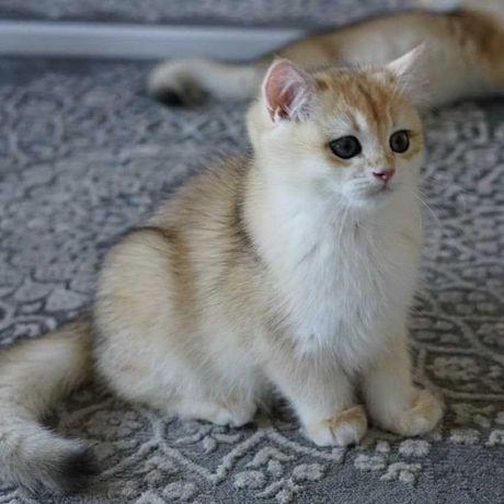Kot brytyjski złoty