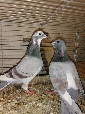 Gołębie pocztowe opale