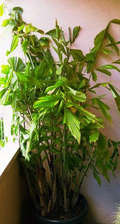 Magnífica Palmeira rabo-de-peixe Caryota mitis XL com quase 2 mt