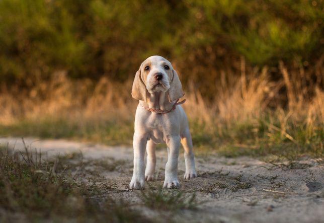 Porcelaine - szczęnięta jak gończy Polski, beagle