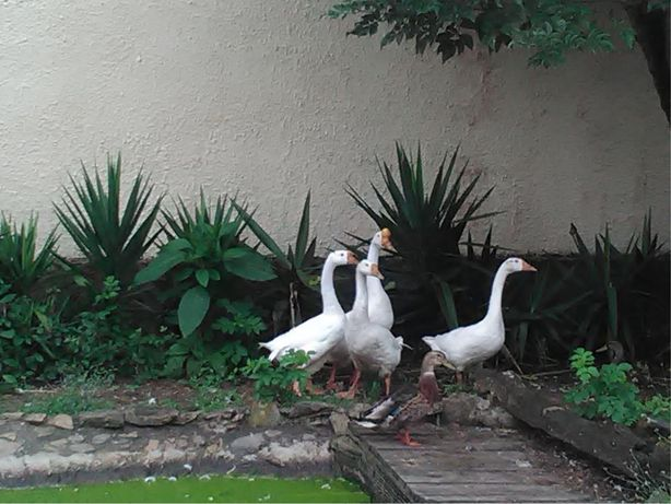 Pato Ganso Machos e Femeas