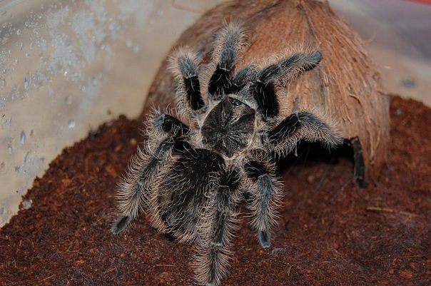 Акция пауки птицееды для новичков по 150 грн