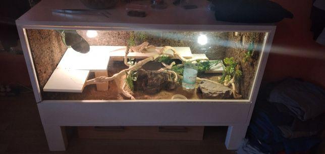 Terrarium z agamą brodatą