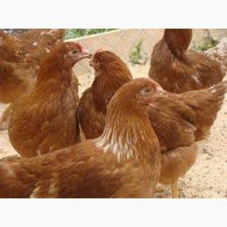 Кури породи Ломан Браун 5 ,5 мес.