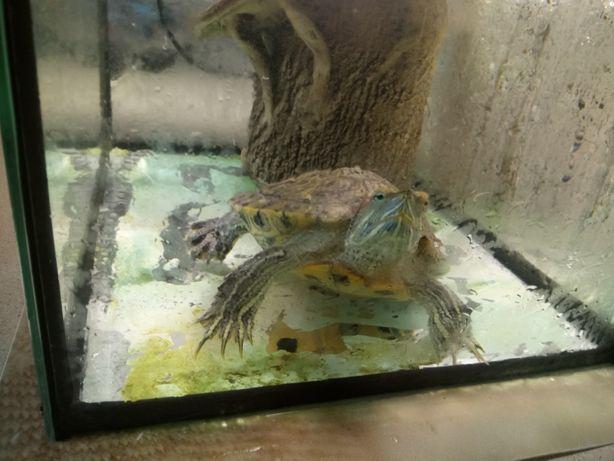 Продам красноухую черепаху панцирь 13 см