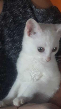 Белоснежные котята