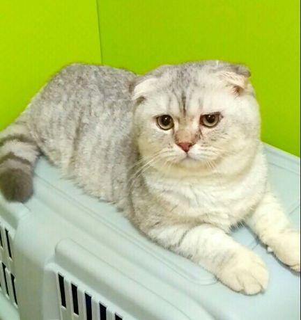 Шиншилла  вислоухий котик.