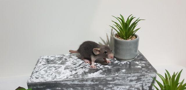 Szczury szczurki cudowne ogodni Dowóz pod drzwi