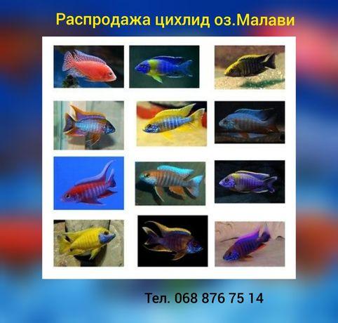 Малавийские цихлиды. Распродажа