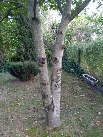 Drzewo orzecha włoskiego i jabłoni - za wycinkę.
