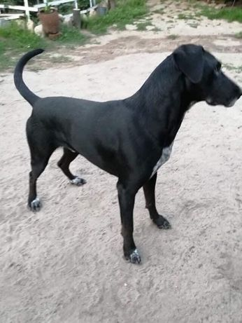 Pablo - duży, mądry pies do adopcji.