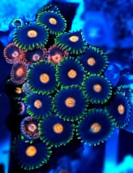 Zoanthus Zoa akwarium morskie akwarystyka morska koralowiec