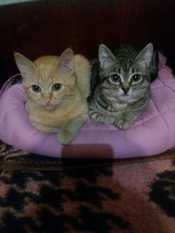 Котята котик рыжий