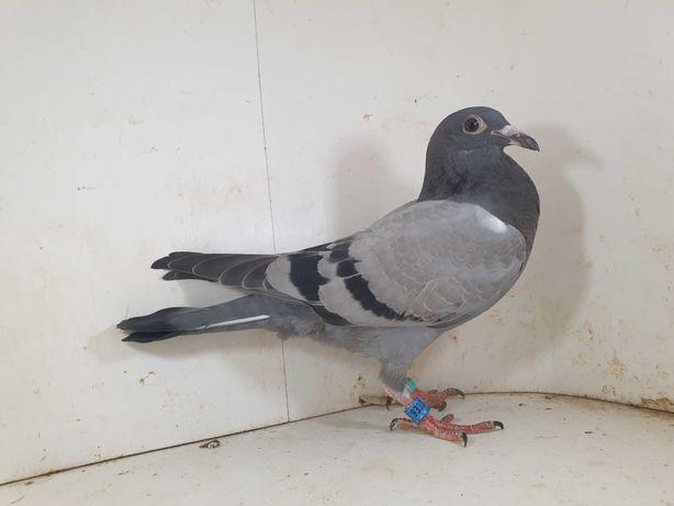 Młody 100 % Bula Latacz Inbred BEST gołąb gołębie pocztowe