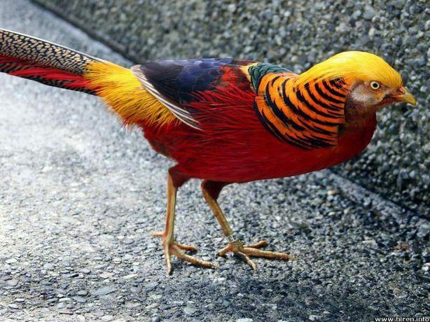 фазан красный золотой