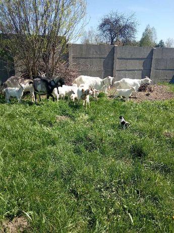 Sprzedam ładne kozy