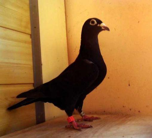 Gołębie Pocztowe! Postawna Czarna Samica! Długi Dziób! Glazer oko!