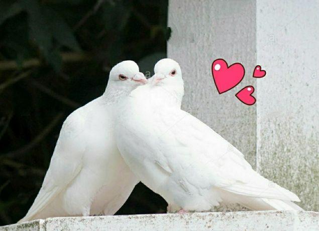 Białe gołębie na ślub - ZAPISY NA 2021 ROK