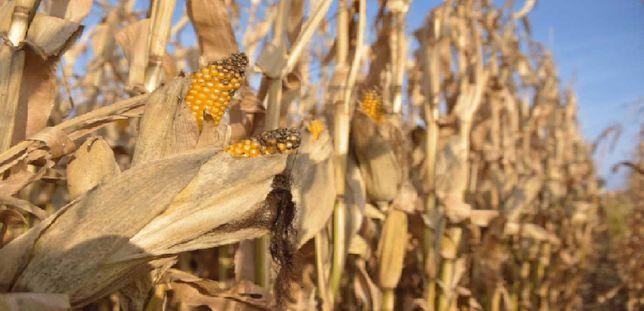 Kukurydza na pasze