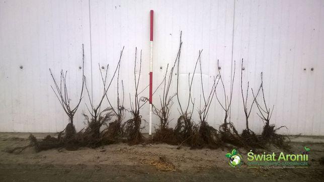 Sadzonki aronii NERO wegetatywne | Pomoc w zakładaniu plantacji
