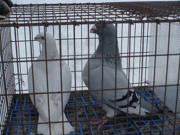 Gołębie - standarty