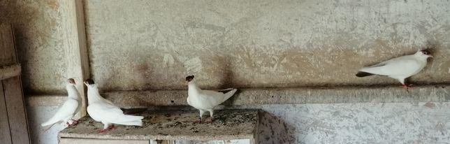 Gołębie Krymki