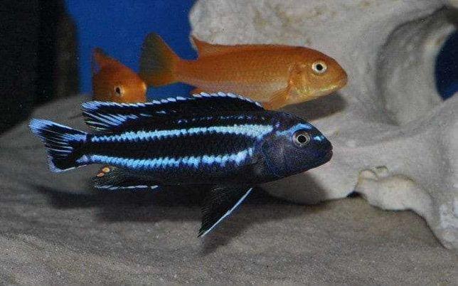 Pyszczak - melanochromis  johanii  gome -4cm. wysyłam