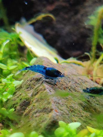 Camarões Neocaridinas Blue Dream ( Camarão, Neo caridina )