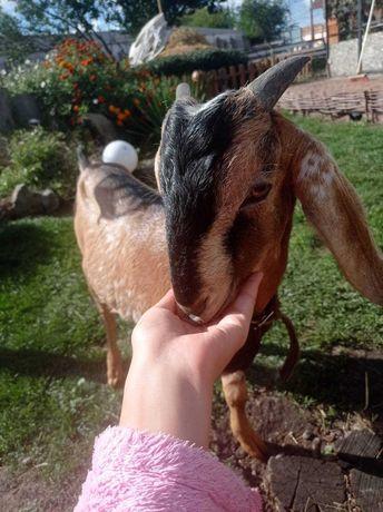 100% Англо-Нубийський козы.