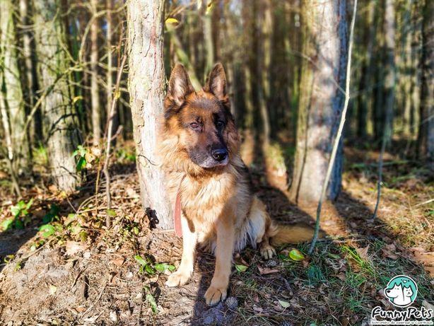Piękny, długowłosy Sting w typie owczarka niemieckiego do adopcji!