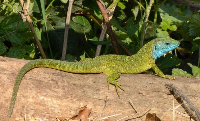 Зелёная ящерица,прыткая ящерица