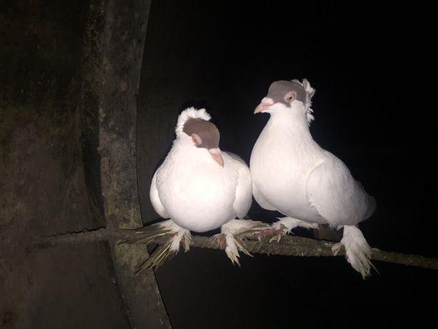 Продаю голуби різних порід
