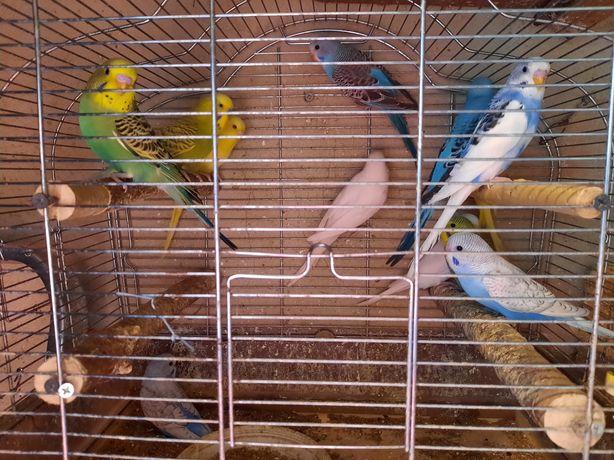 Sprzedam papugi faliste i nimfy