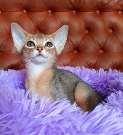 Кошечка абиссинской породы