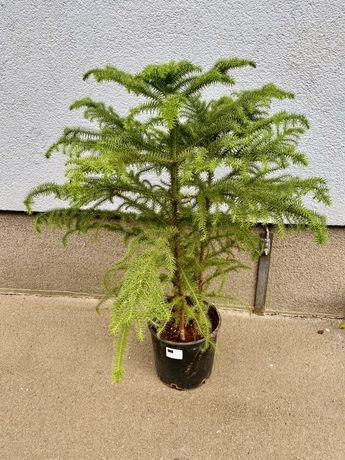 Араукария ( комнатная ель )