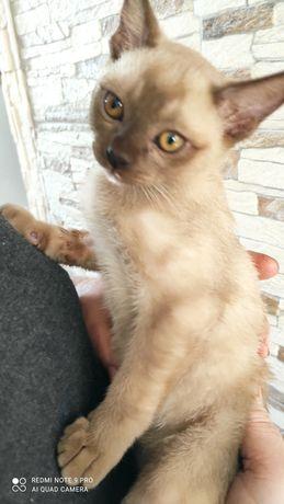 kocięta burmskie burmański burmese cats
