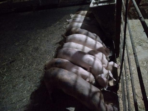 Поросята свиня свині