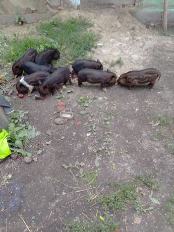 В'єтнамські поросята, свині