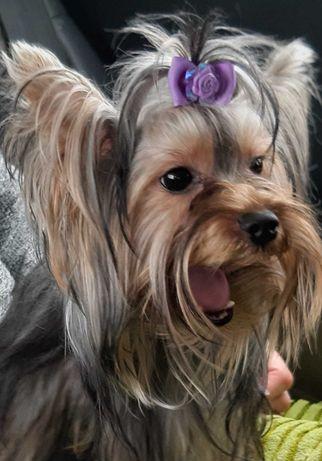 Yorkshire terrier procura namorado