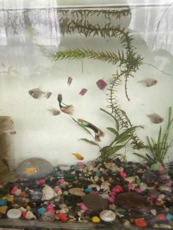 Продам рыбок тернеция