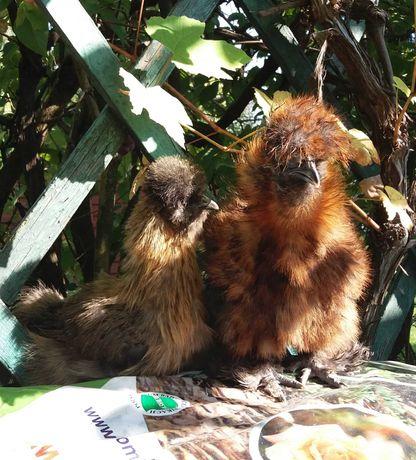 Silki kury pary młode