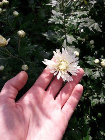 Хризантема белая и жёлтая