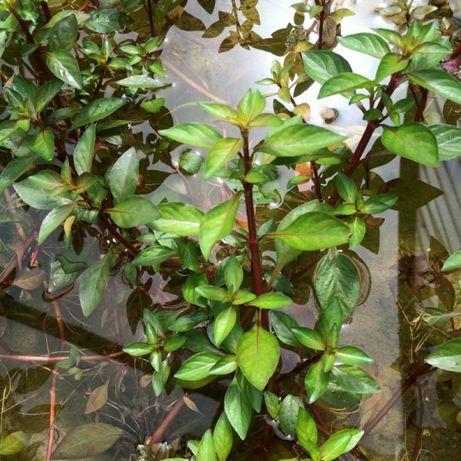 Ludwigia roślina do akwarium
