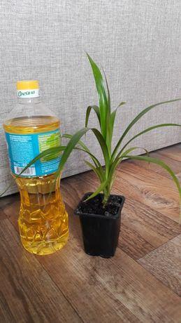 Панданус винтовая пальма