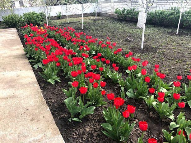 Луковицы тюльпанов цибулини тюльпанів РАННІ ВЕЛИКІ ОПТ та РОЗДРІБ